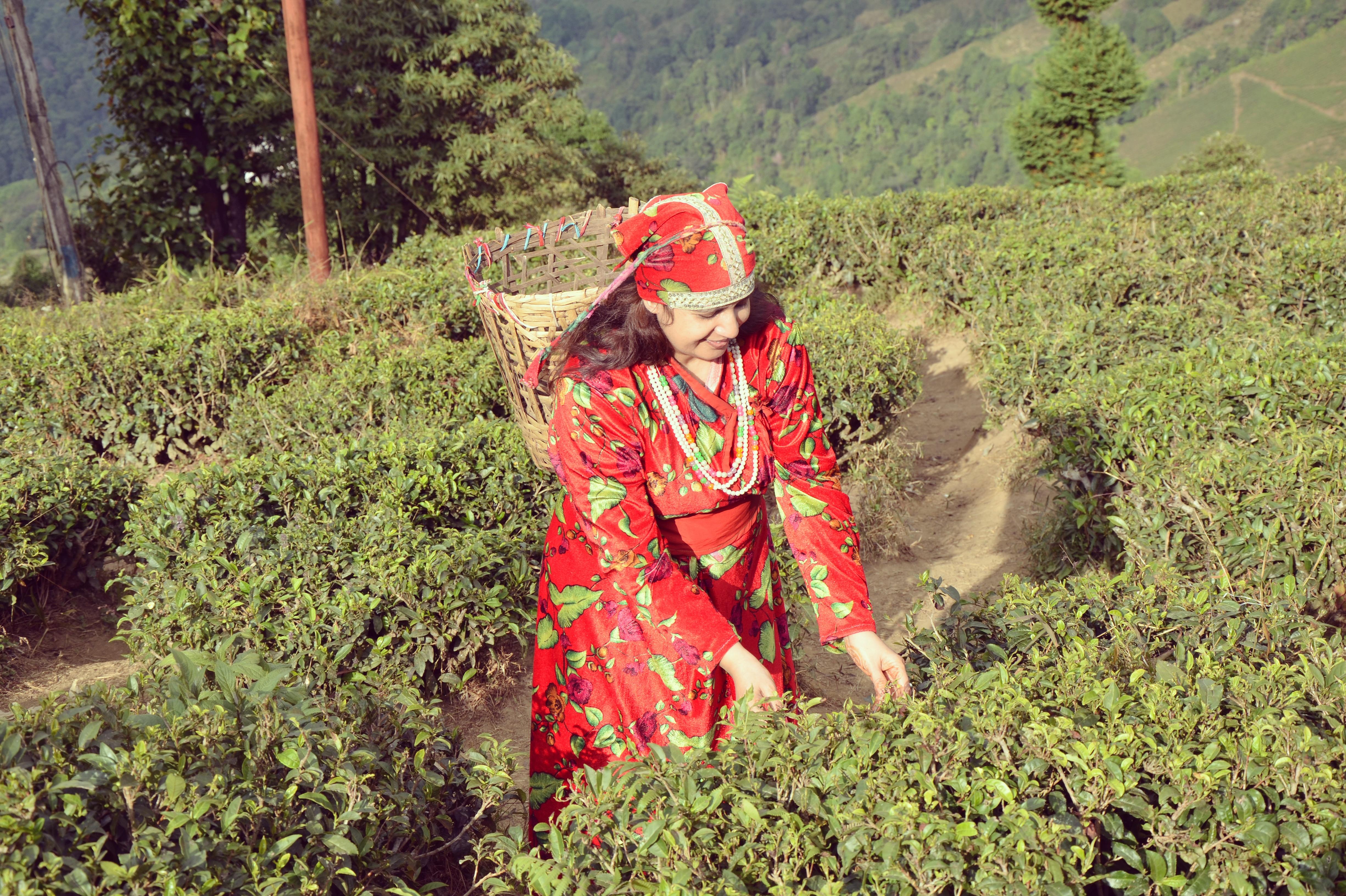 temi-tea-garden-sikkim-guide
